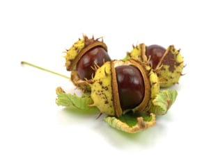Horse chestnut seed where the aescin is used for varicose veins