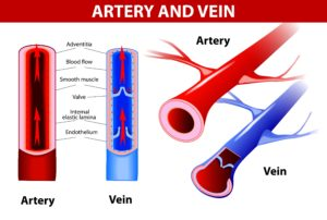 Veins_arteries_differences